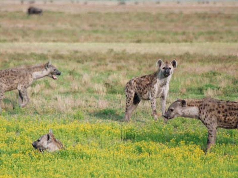 Hyena Safari
